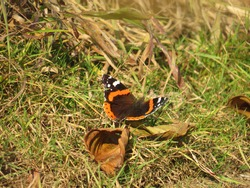 a beautiful butterfly with an orange and black pattern on its wings sits on the grass on a sunny autumn day