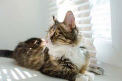 A beautiful cat lies on a window with blinds in the rays of sunlight.