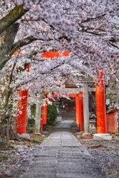 A beautiful cherry blossoms at Takenaka-inari Shrine.