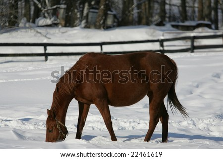 A beautiful chestnut brown thoroughbred race horse on the farm after a winter snow storm.