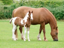 A beautiful chestnut mare with her skewbald foal stand in a paddock