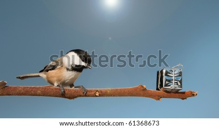 A beautiful chickadee finds a shiny present left on a branch for him.