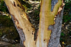 A beautiful closeup capture of a double splitting arbutus tree trunk  with peeling bark and exposed tan colored wood