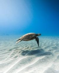 A beautiful closeup shot of a kemp's ridley sea turtle swimming underwater