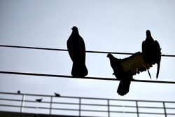 A beautiful closeup silhouette of a couple of pigeons sitting on electricity cable wires in Bangalore or Bengaluru, Karnataka, India.