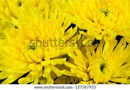 A beautiful collection of Yellow Chrysanthemums