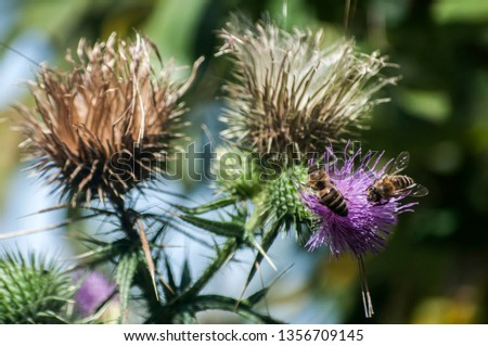 A beautiful color of blooming head donkey thistle with bee on it closeup as natural background #1356709145