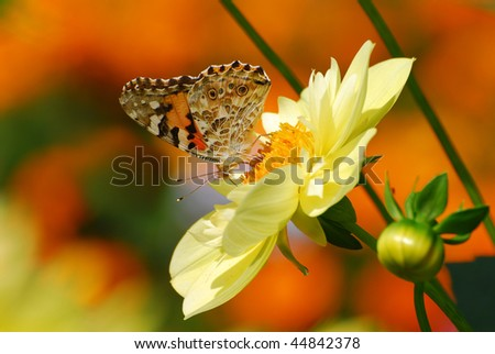 A beautiful colored butterfly on a yellow flower