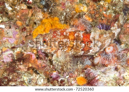 A beautiful, colorful image of a painted greenling fish on a vibrant reef covered with inveterate life such as anemones and corals.