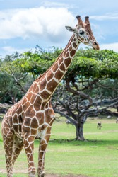 A beautiful  colorful portrait of a reticulated giraffe (Jirafa reticulata) walking in a savannah. ON the background of a green tree with a wide canopy.