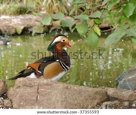A beautiful colorful wood duck sitting on a rock by a pond.