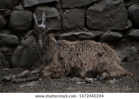 A beautiful combination of colors of the goat with the wall