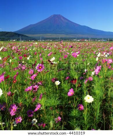 A beautiful Cosmos field near Mount Fuji