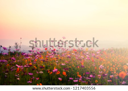 A beautiful cosmos flower garden on sunset background. #1217403556
