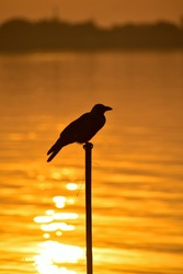 A beautiful crow is sitting on a tree branch by the river