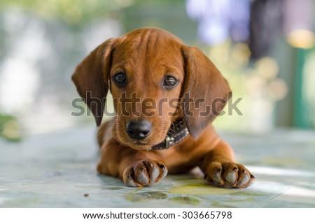 A beautiful dachshund puppy dog with sad eyes dog portrait #303665798