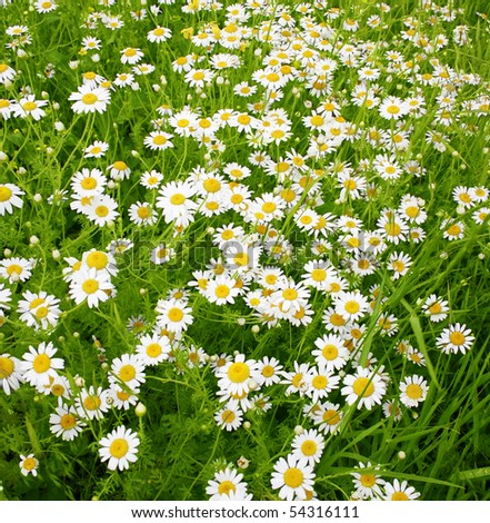 A beautiful daisies field in spring light