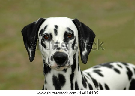 A beautiful Dalmatian dog head portrait with cute expression in the face watching other dogs in the park outdoors