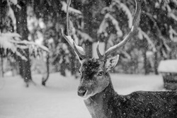 A beautiful deer in the forest. Deer. Black and white photo. Nature. Wild life. The journey