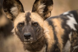 A beautiful detailed close up portrait headshot of an African Wild Dog intently looking towards the camera at sunset, taken at the Madikwe game Reserve in South Africa.