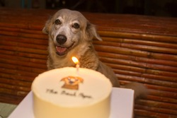 A beautiful dog and her birthday cake. Celebration of a loving dog's birthdate. Warm candlelight colors, nighttime setting.