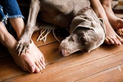A beautiful dog lies on the floor at the feet of the owner. Top view of large well-groomed dog laying on floor nearby legs of its owners