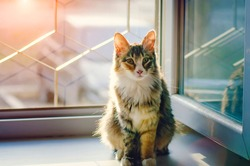 A beautiful domestic cat with a white breast sits on the window, backlight.
