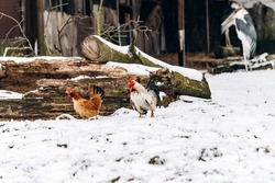 A beautiful domestic hen and a rooster walk in the Park on a winter day.