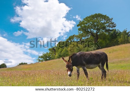 a beautiful donkey or ass grazing in an english meadow on a sunny day
