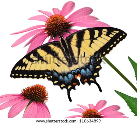 A beautiful Eastern Tiger Swallowtail butterfly (Papilio glaucus) at purple coneflowers isolated on a white background.