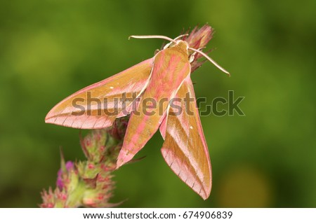 A beautiful Elephant Hawk-Moth (Deilephila elpenor) perched on a flower. #674906839