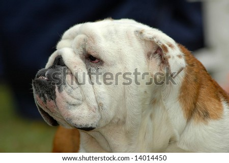 A beautiful English Bulldog dog head portrait with funny expression in the face watching other dogs