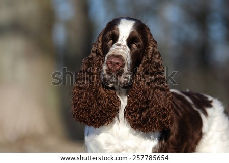 A beautiful English Springer Spaniel dog head portrait with cute expression in the face watching other dogs in the park