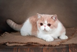 A beautiful exotic Shorthair cat lies on the brown background of the Studio. Color cream with white