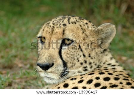 Cheetahs Predators Are