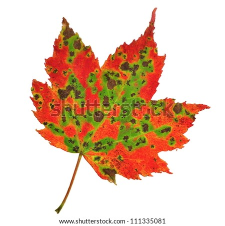 A beautiful fall Red Maple leaf (Acer rubrum) isolated on a white background.