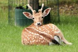 A beautiful fallow deer.  mammal, Cervus Dama