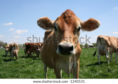 A beautiful female Jersey cow in pasture