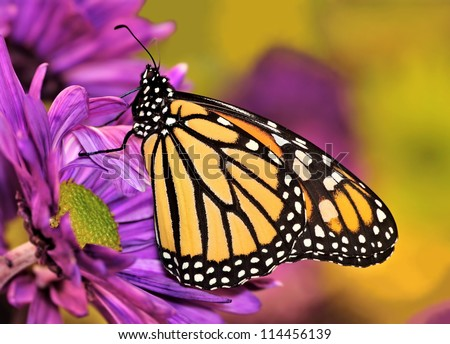 A beautiful female Monarch butterfly (Danaus plexippus) at autumn chrysanthemums.