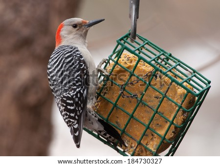 A beautiful female Red-bellied Woodpecker perches on a suet feeder at a Brown County, Wisconsin feeding station.