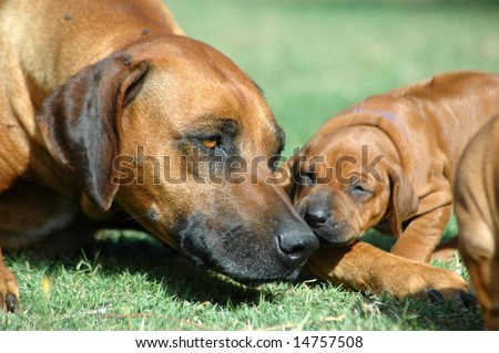 bull mastiff and ridgeback mix