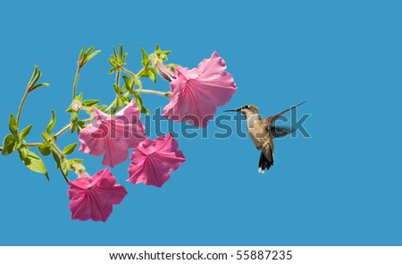 A beautiful female ruby throat hummingbird approaches some petunia flowers in the sunshine with room for your text.