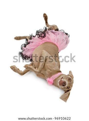 A beautiful female Weimaraner dog wearing a pink and black tutu and a flower collar laying upside-down on a white backdrop