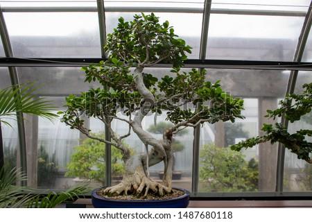 A beautiful ficus retusa bonsai tree. #1487680118