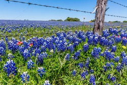 A Beautiful Field Blanketed with the Famous Texas Bluebonnet (Lupinus texensis) Wildflowers.  Old Wooden Fence Post and Barbed Wire.