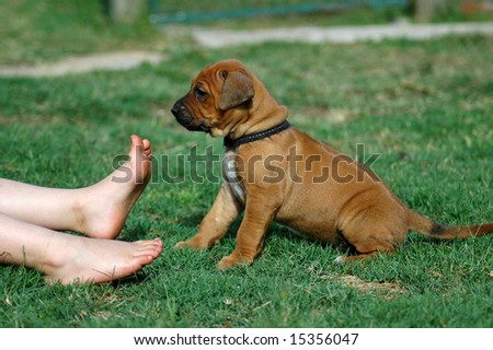 A beautiful five weeks old Rhodesian Ridgeback hound dog puppy with cute expression in the face sitting in the grass and watching the little feet of a caucasian white child  in the backyard outdoors