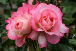 A beautiful floribunda rose named Bold Seduction.  Sport of the very popular rose Seduction.