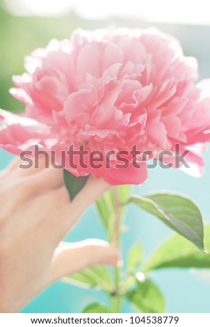 A beautiful flower of pastel pink peony in a human's hand with a back light and green and blue background