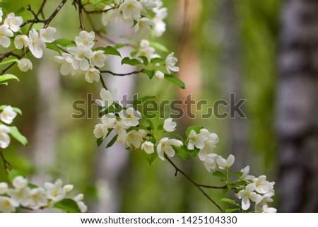 A beautiful flowering wild apple tree branchlet. Season: Spring. Location: Western Siberia.