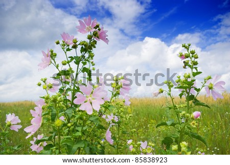 a beautiful  flowers / growing wild mallow